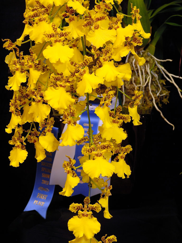 photo of Oncsa. Gold Medal 'Dion' AM/AOS©Phil Matt - All Rights Reserved